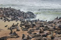 Cute seals frolic on the shores of the Atlantic Ocean in Namibia. stock images