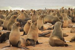 Cute seals frolic on the shores of the Atlantic Ocean in Namibia. stock photos
