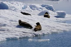 Seals in Alaska stock photography