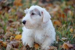 Cute sealyham terrier puppy is lying in the autumn foliage. Welsh border terrier or cowley terrier. Two month old. Pet animals royalty free stock photography