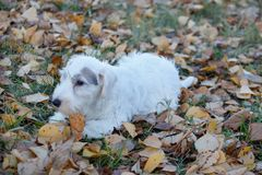 Cute sealyham terrier puppy is playing in the autumn foliage. Welsh border terrier or cowley terrier. Two month old. Pet animals royalty free stock photos
