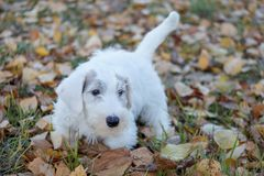 Cute sealyham terrier puppy is walking on the autumn park. Welsh border terrier or cowley terrier. Two month old. Pet animals stock images