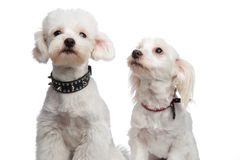 Cute seated white bichons looking up and side Stock Photos