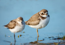 Cute semipalmated plovers, Jamaica Bay Wildlife Re Royalty Free Stock Photo