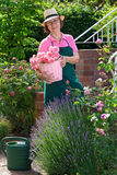 Cute senior gardener with roses in back yard. Royalty Free Stock Photos