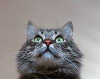 Cute serious cat Royalty Free Stock Photos