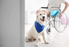 Cute service dog and blurred man in wheelchair,. View through door stock photography