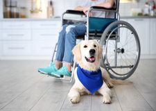 Cute service dog lying on floor near girl. In wheelchair indoors stock photos