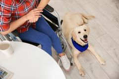Cute service dog lying on floor near woman. In wheelchair indoors Stock Images