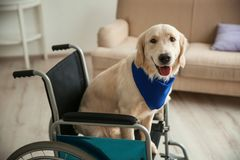 Cute service dog sitting in wheelchair. Indoors Stock Photos
