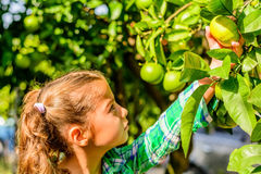 Cute seven year old girl picking clementines. Seven year old girl picking clementines Stock Photo