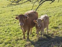 Cute shaggy beige calf and ginger bull front view on the grass p royalty free stock images
