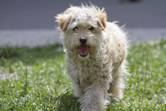 Cute shaggy dog. Cute shaggy dog walking on the grass Stock Image