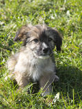 Cute shaggy puppy Stock Photography