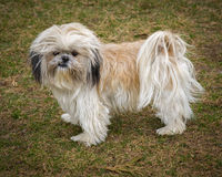 Cute and Shaggy Ungroomed Shih Tzu Dog Stock Photography