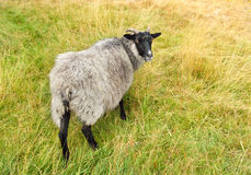Cute sheep, autum Stock Photo