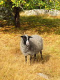 Cute sheep on the autumn lawn Royalty Free Stock Photography