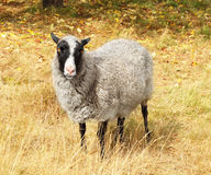 Cute sheep on the autumn lawn Stock Photo