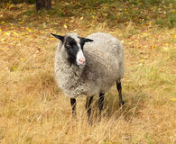 Cute sheep on autumn pasture Royalty Free Stock Images