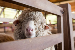 Cute sheep Stock Photo