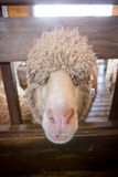 Cute sheep Royalty Free Stock Photos