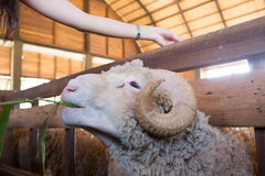 Cute sheep Stock Photography