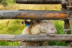 Cute sheep behind fence Stock Photos