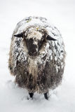Cute sheep covered with a snow Royalty Free Stock Images
