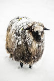 Cute sheep covered with a snow looking into the camera Royalty Free Stock Photo
