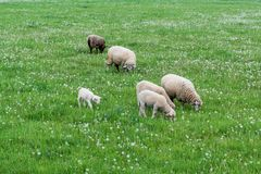 Cute sheep family Stock Image
