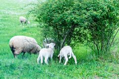 Cute sheep family Stock Images