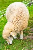 Cute sheep farm eating green glass stock photo