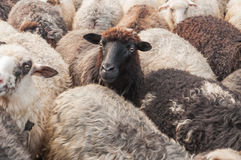 Cute sheep in the herd Royalty Free Stock Photos