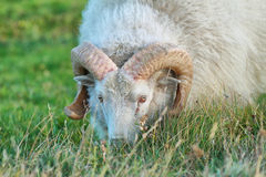 Cute sheep in Iceland staring into the camera Stock Image