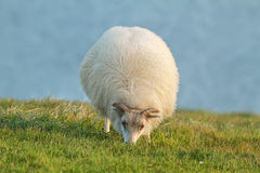 Cute sheep in Iceland staring into the camera Royalty Free Stock Photo