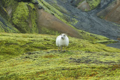 Cute sheep in Landmannalaugar Royalty Free Stock Images