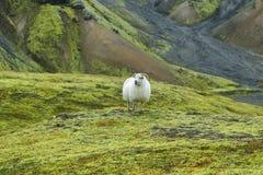 Cute sheep in Landmannalaugar Royalty Free Stock Images
