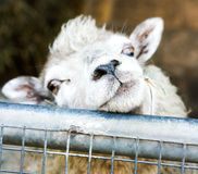 Cute sheep looking at visitors. A young sheep looking over the gate at people passing by.  Bit eyes and an endearing expression Stock Image