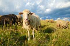 Cute sheep on meadow in mountains Stock Photo