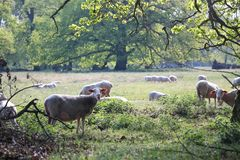 Cute sheeps on a meadow and hundred years old oak trees royalty free stock photos