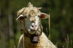 Cute sheep on the meadow Royalty Free Stock Image