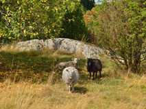 Cute sheep next to apple tree Royalty Free Stock Photos