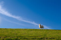 Cute sheep over blue sky Royalty Free Stock Images