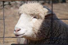 Cute Sheep Portrait Royalty Free Stock Image