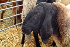 Portrait of cute sheep Stock Photos