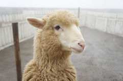 Cute sheep Stock Photos