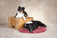 Cute Sheepdogs Stock Images