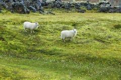 Cute sheeps in Landmannalaugar Stock Photo