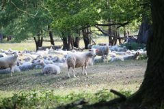 Cute sheeps on a meadow and hundred years old oak trees stock photos