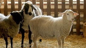 Cute sheeps in stable. stock photos